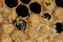 Печатный расплод. Выход из ячейки молодой пчелы