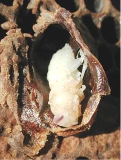 Куколка матки внутри маточника (маточник раскрыт до времени)