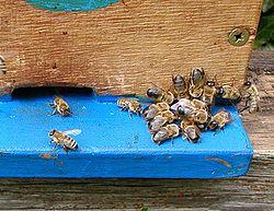 Трутни, которых пчелы выгнали перед зимовкой